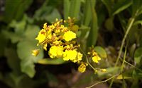 oncidium yellow orchid