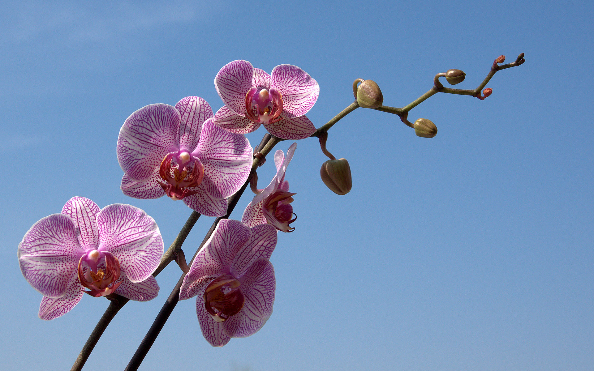 orchid wallpaper Phalaenopsis