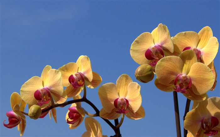 orchid Phalaenopsis wallpaper