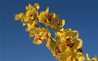 yellow Cymbidium
