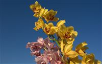pink and yellow orchids photo
