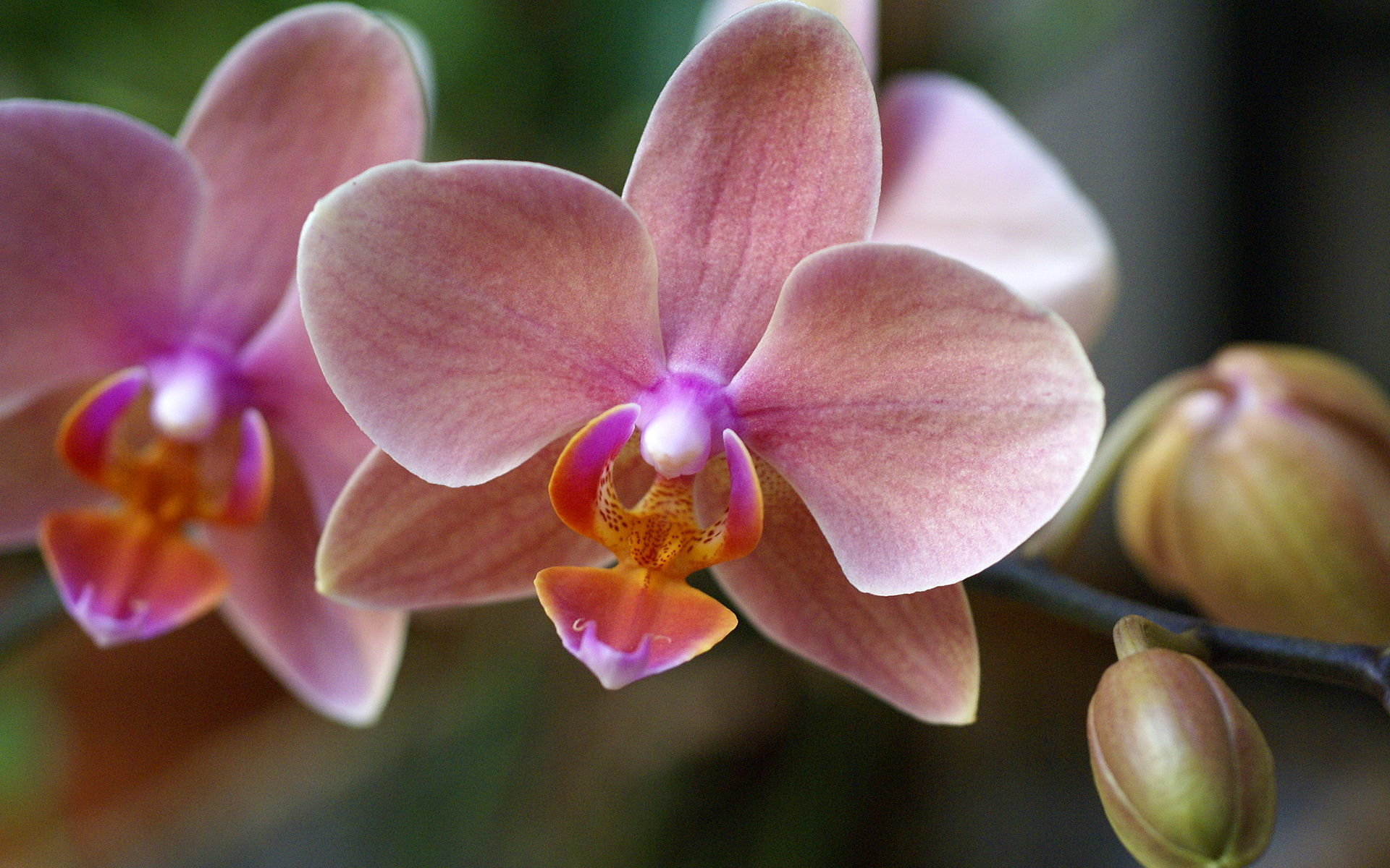 hybrid Phalaenopsis orchid close up