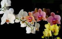 colorful Orchids photo