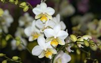 White yellow orchid