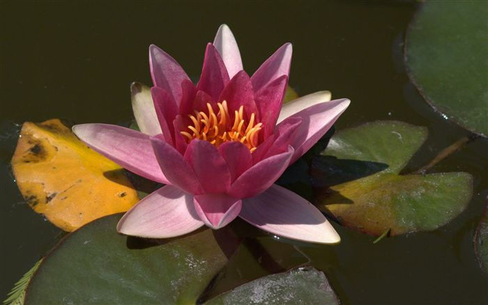 dark pink water lily
