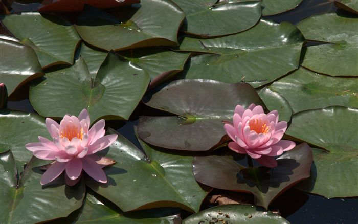 Nymphaea alba Water lilies
