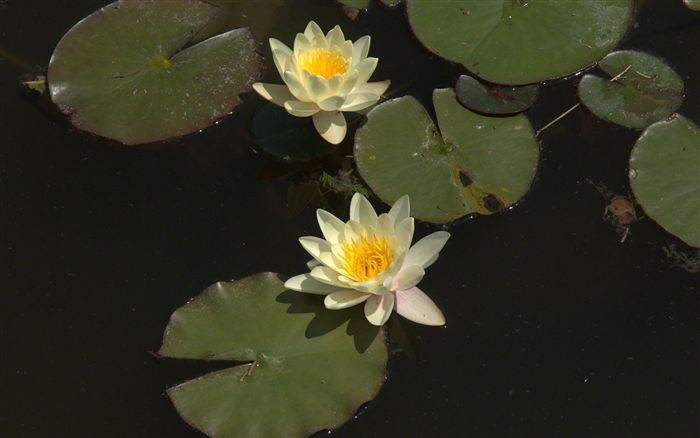 most beautiful yellow water lilies