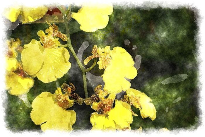 oncidium orchid watercolor picture