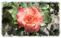 beautiful watercolor rose