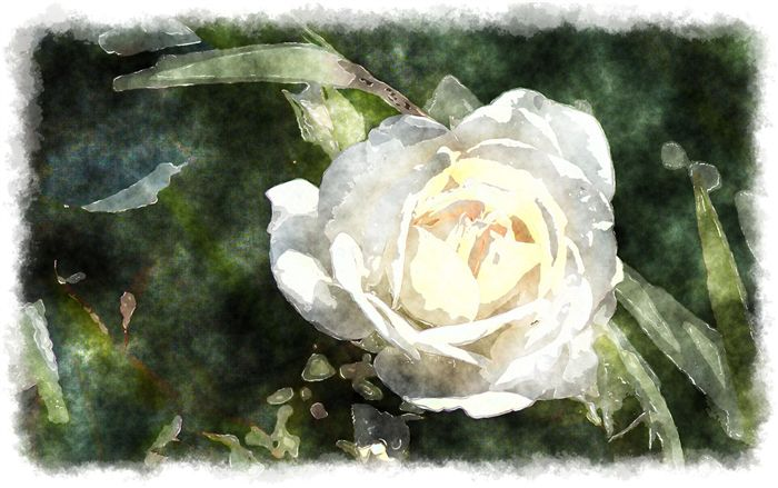 watercolor white rose