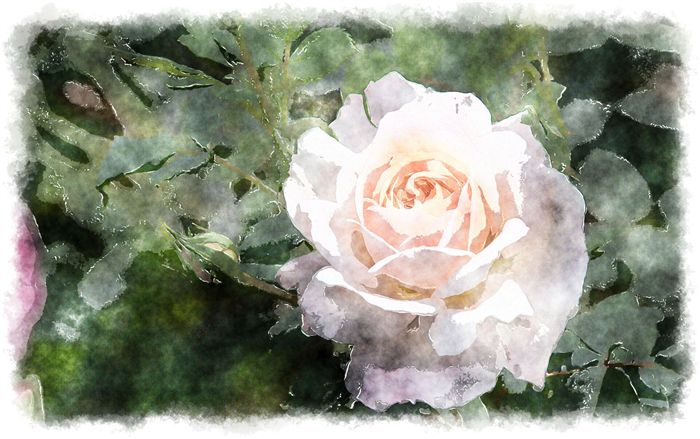 watercolor rose angelic