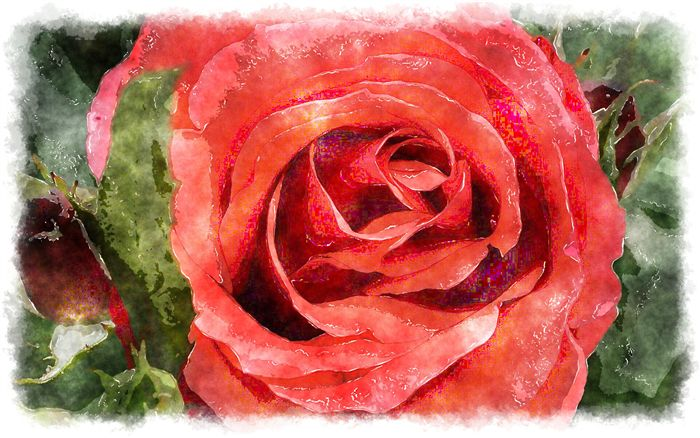 red rose watercolor close up