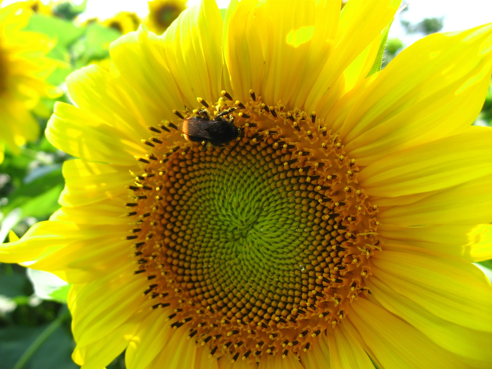 Sun Flower and Bumble bee
