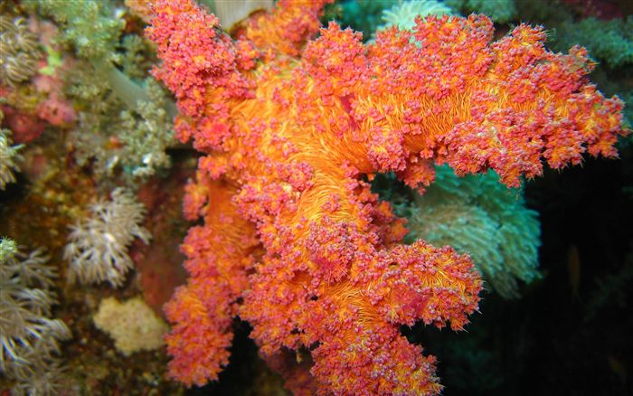 red softcoral wallpaper