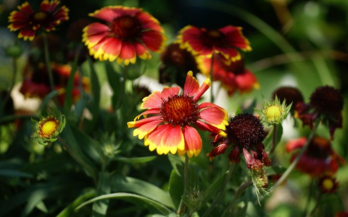 Blanket Flower wallpaper