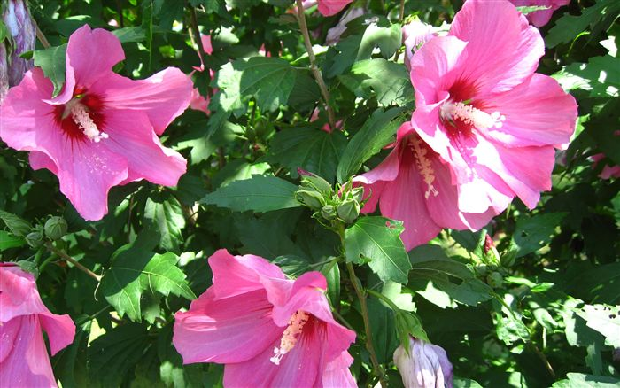 Hibiscus Flower Wallpaper Widescreen