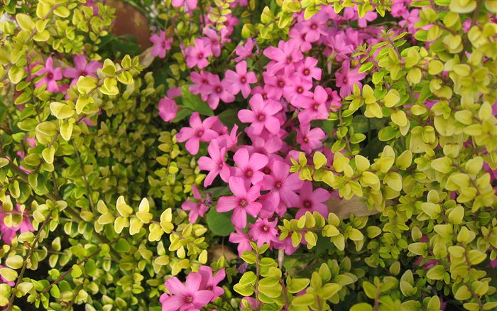 Mediterrenean Flower Wallpaper Widescreen