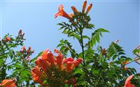 Campsis radicans Flower Wallpaper Wide