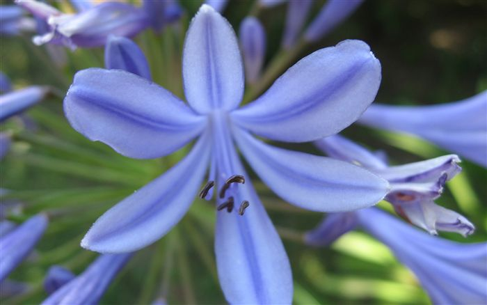 Agapanthus Flower Wallpaper Widescreen