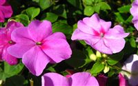 Impatiens Flower Wallpaper Wide