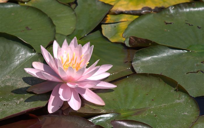 pink water lily wallpaper