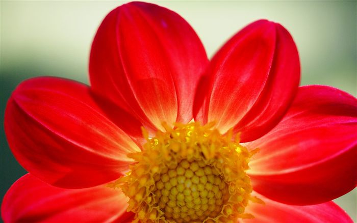 Red daisy wallpaper