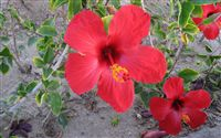 Red Hibicus Flower Wallpaper Wide