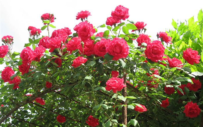 Red Roses Wallpaper Wide