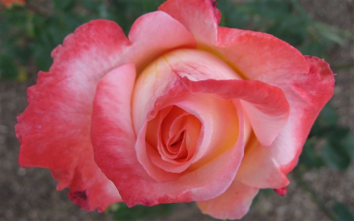 Rose Flower Wallpaper Wide