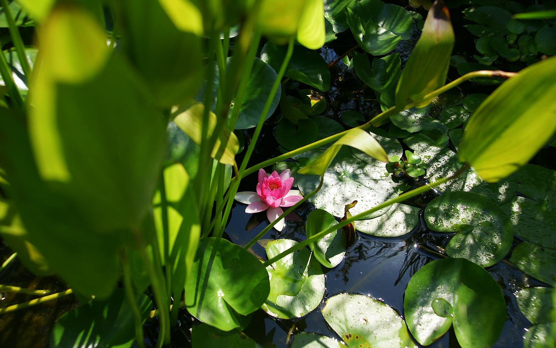 pink lotus and green pond