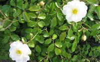 White wild roses Flower Wallpaper Wide